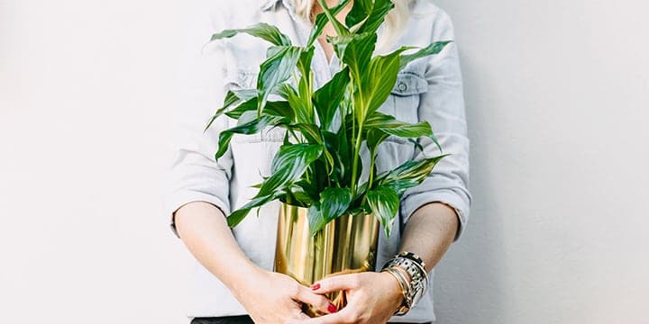 Peace Lily (Spathiphyllum) | Plant Care Guide
