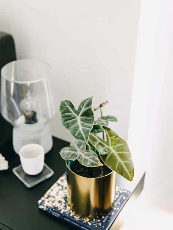 Green Assembly | Alocasia Ebony houseplant