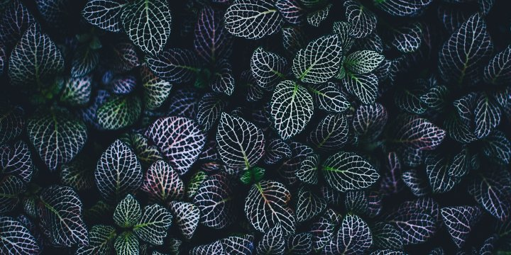 Fittonia | Plant Care Guide