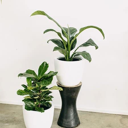 Peace Lily XL