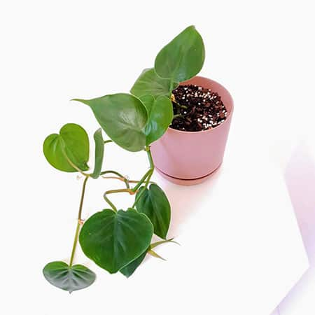 Small Heart-Leaf Philodendron - Valentines Day