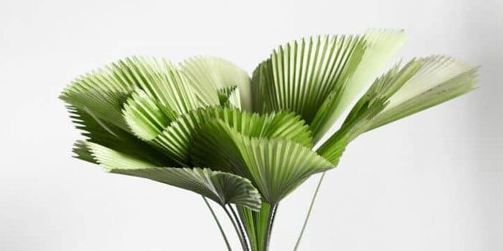 Ruffled Fan Palm | Plant Care Guide