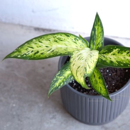 Dumb Cane Starbright