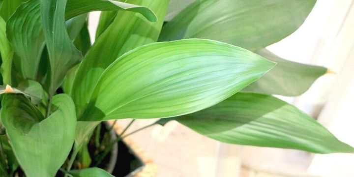 Cast Iron Plant (Aspidistra) | Plant Care Guide